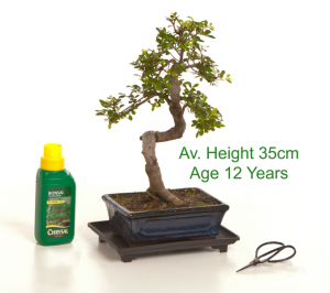 Bonsai Tree Chinese Elm 12 Year Old 25cm Height indoor outdoor available to buy online from All Things Bonsai Sheffield Yorkshire with free UK delivery
