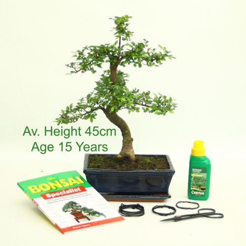 Bonsai Tree Chinese Elm 15 Year Old 45cm Height indoor outdoor available to buy online from All Things Bonsai Sheffield Yorkshire with free UK delivery