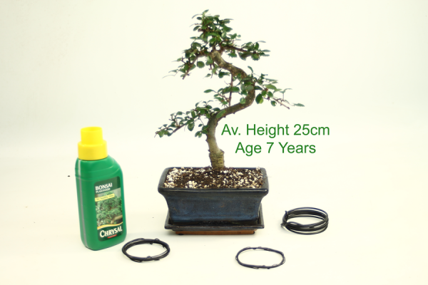 Bonsai Tree Chinese Elm 7 Year Old 25cm Height indoor outdoor available to buy online from All Things Bonsai Sheffield Yorkshire with free UK delivery