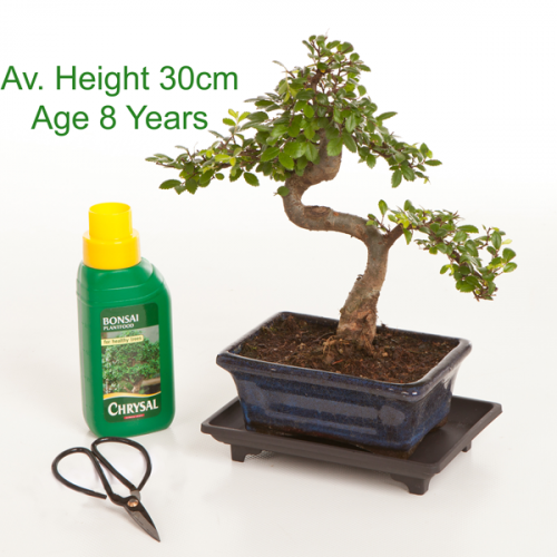 Bonsai Tree Chinese Elm 8 Year Old 30cm Height indoor outdoor available to buy online from All Things Bonsai Sheffield Yorkshire with free UK delivery
