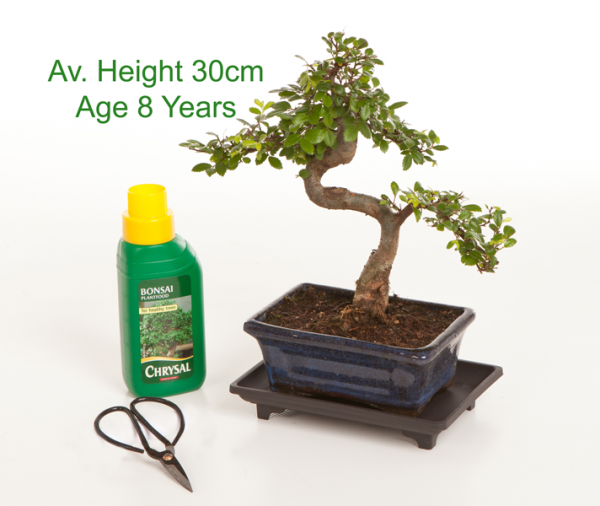 8 Year Old Chinese Elm Indoor Bonsai Tree Gift Set available to buy online from All Things Bonsai Sheffield Yorkshire with free UK delivery