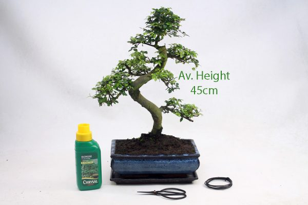 15 Year Old Chinese Elm Indoor Bonsai Tree Gift Set available to buy online from All Things Bonsai Sheffield Yorkshire with free UK delivery