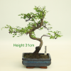 Bonsai Tree Chinese Elm indoor outdoor available to buy online from All Things Bonsai Sheffield Yorkshire with free UK delivery