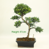 Flowering Bonsai Tree Ilex buy online from All Things Bonsai Sheffield Yorkshire with free UK delivery