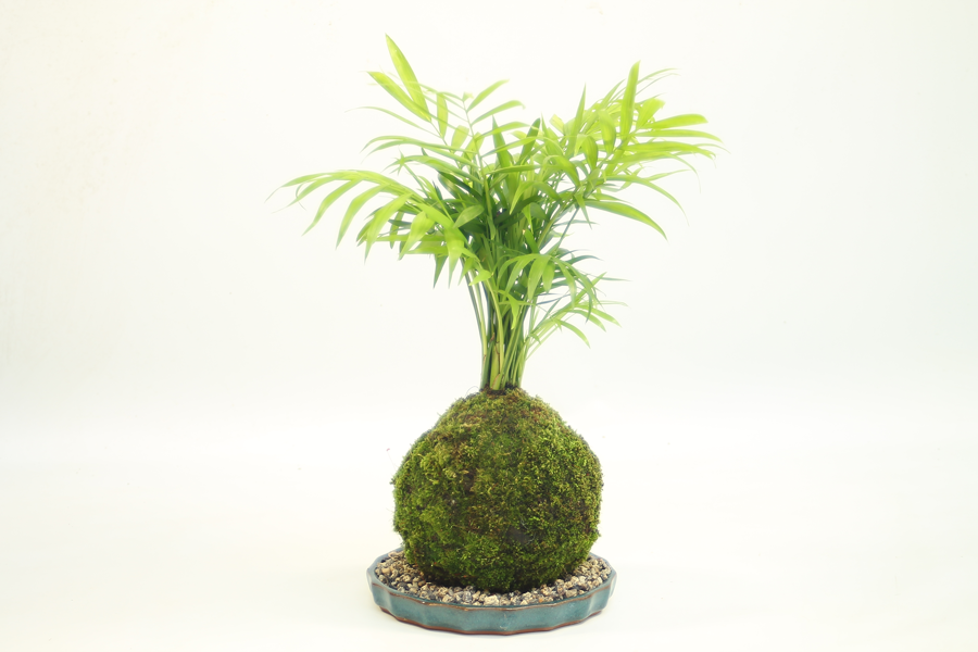 Kokedama Palm available to buy online from All Things Bonsai Sheffield Yorkshire with free UK delivery
