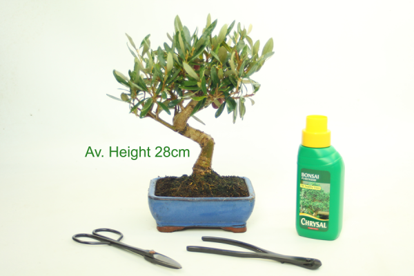Olive Olea Bonsai Tree available to buy online from All Things Bonsai Sheffield Yorkshire with free UK delivery
