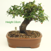 Flowering Bonsai Tree Pyracantha from All Things Bonsai Sheffield Yorkshire with free uk delivery buy online
