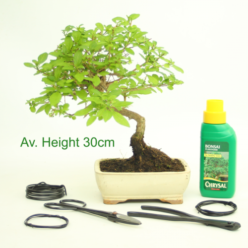Solanum Flowering Bonsai Gift Set available to buy online from All Things Bonsai Sheffield Yorkshire with free UK delivery