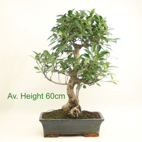 Large Ficus Indoor Bonsai Tree available to by online from All Things Bonsai Sheffield Yorkshire with free UK delivery