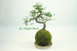 Kokedama Bonsai Tree available to buy online from All Things Bonsai Sheffield Yorkshire with free UK delivery