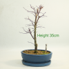 Acer Palmatum Japanese Maple Deshojo Bonsai Tree available to buy online from All Things Bonsai Sheffield Yorkshire with free UK delivery