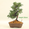 Chinese Juniper Bonsai Tree from All Things Bonsai Sheffield Yorkshire