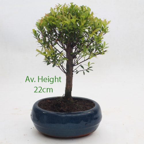Mini Syzygium Flowering Bonsai Tree available to buy online from All Things Bonsai Sheffield Yorkshire with free UK delivery