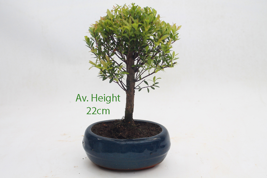 Mini syzygium flowering bonsai tree all things bonsai mini syzygium flowering bonsai tree available to buy online from all things bonsai sheffield yorkshire with mightylinksfo