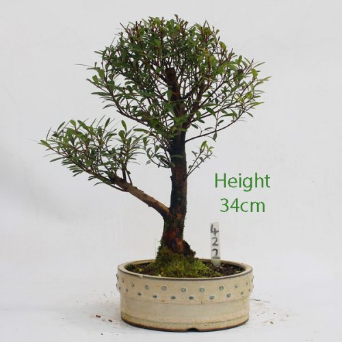 Syzygium Flowering Bonsai Tree Number 422 available to buy online from All Things Bonsai Sheffield Yorkshire with free UK delivery
