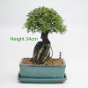 Root Over Rock Style Cork Bark Elm Bonsai Tree available to buy online from All Things Bonsai Sheffield Yorkshire with free UK delivery