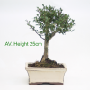Japanese Holly Ilex Flowering Bonsai Tree available to buy online from All Things Bonsai Sheffield Yorkshire with free UK delivery
