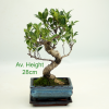 Mini Ficus Indoor Bonsai Tree Gift Set available to by online from All Things Bonsai Sheffield Yorkshire with free UK delivery