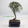 Syzygium Flowering Bonsai Tree available to buy online from All Things Bonsai Sheffield Yorkshire with free UK delivery