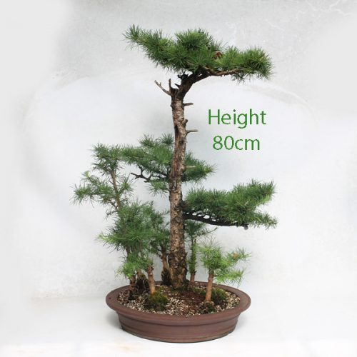 Larch Bonsai Tree Group Planting available to buy from our nursery at All Things Bonsai Sheffield Yorkshire