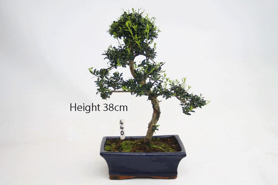 Japanese holly ilex flowering bonsai tree number 440 all for Holly tree bonsai