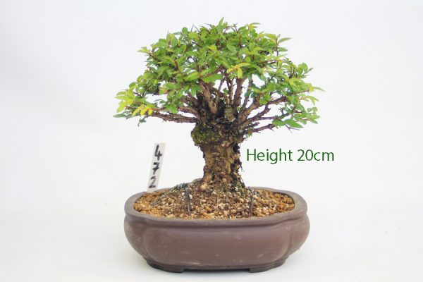 Cork Bark Chinese Elm Bonsai Tree Number 472 available to buy online from All Things Bonsai Sheffield Yorkshire with free UK delivery