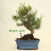 Aleppo Pine Bonsai Tree available to buy online from All Things Bonsai Sheffield Yorkshire with free UK delivery