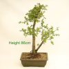 Bonsai Tree Hawthorn available to buy at All Things Bonsai Sheffield Yorkshire UK