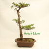 Japanese Larch Bonsai Tree from All Things Bonsai Sheffield Yorkshire UK deciduous larix