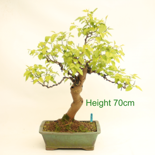 Mulberry Bonsai Tree Flowering Fruiting available to buy online from All Things Bonsai Sheffield Yorkshire UK