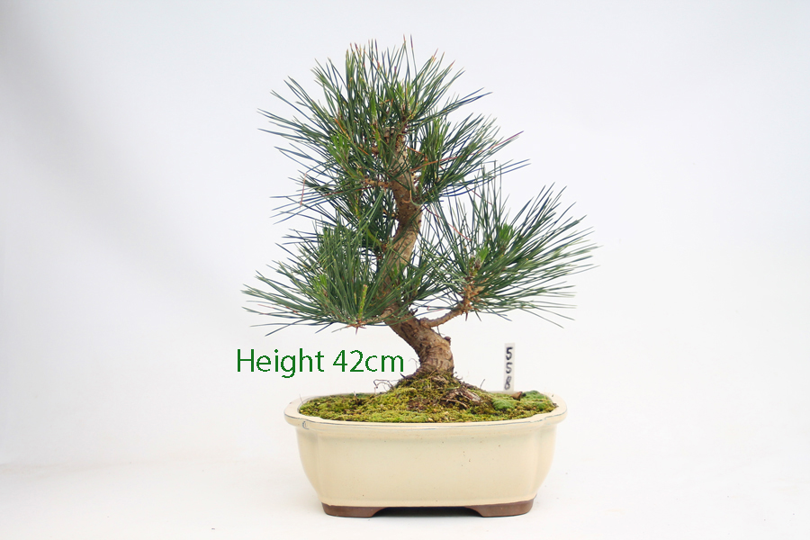 Black Pine Bonsai Tree Pinus Thunbergii available to buy online from All Things Bonsai Sheffield Yorkshire with free UK Delivery