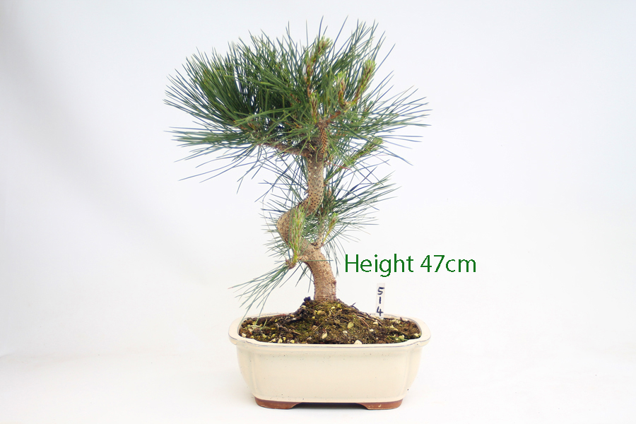 Black Pine Bonsai Tree Pinus Thunbergii Number 514 available to buy online from All Things Bonsai Sheffield Yorkshire with free UK Delivery