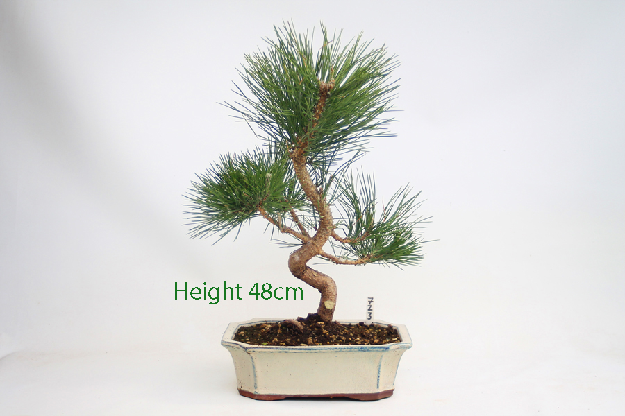 Black Pine Bonsai Tree Pinus Thunbergii Number 723 available to buy online from All Things Bonsai Sheffield Yorkshire with free UK Delivery