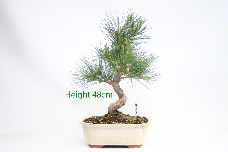 Black Pine Bonsai Tree Pinus Thunbergii Number 489 available to buy online from All Things Bonsai Sheffield Yorkshire with free UK Delivery