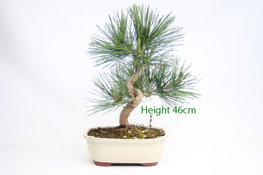 Black Pine Bonsai Tree Pinus Thunbergii Number 484 available to buy online from All Things Bonsai Sheffield Yorkshire with free UK Delivery