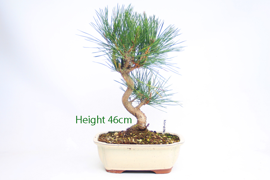 Black Pine Bonsai Tree Pinus Thunbergii Number 528 available to buy online from All Things Bonsai Sheffield Yorkshire with free UK Delivery