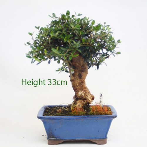 Olive Bonsai Tree Number 311 available to buy online from All Things Bonsai Sheffield Yorkshire with free UK delivery