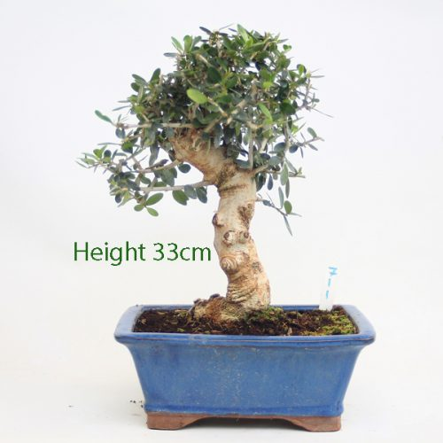 Olive Bonsai Tree Number 711 available to buy online from All Things Bonsai Sheffield Yorkshire with free UK delivery