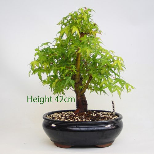 Acer Palmatum Katsura Japanese Maple Bonsai Tree Number 470 available to buy online from All Things Bonsai Sheffield Yorkshire with free UK delivery