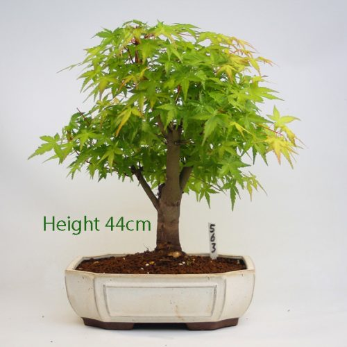 Acer Palmatum Katsura Japanese Maple Bonsai Tree Number 563 available to buy online from All Things Bonsai Sheffield Yorkshire with free UK delivery