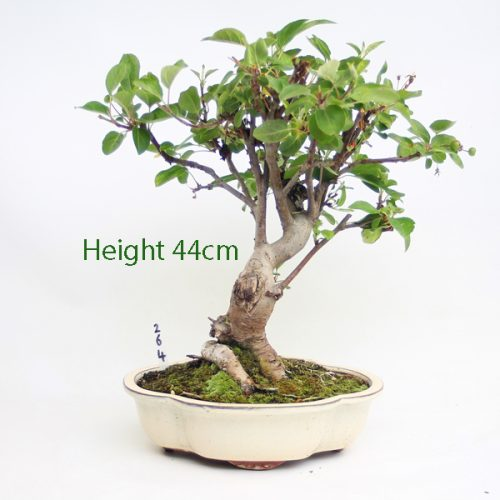 Crab Apple Flowering Bonsai Tree Malus Number 264 available to buy online from All Things Bonsai Sheffield Yorkshire with free UK delivery