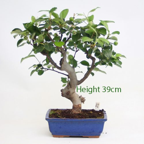 Crab Apple Flowering Bonsai Tree Malus Number 82 available to buy online from All Things Bonsai Sheffield Yorkshire with free UK delivery
