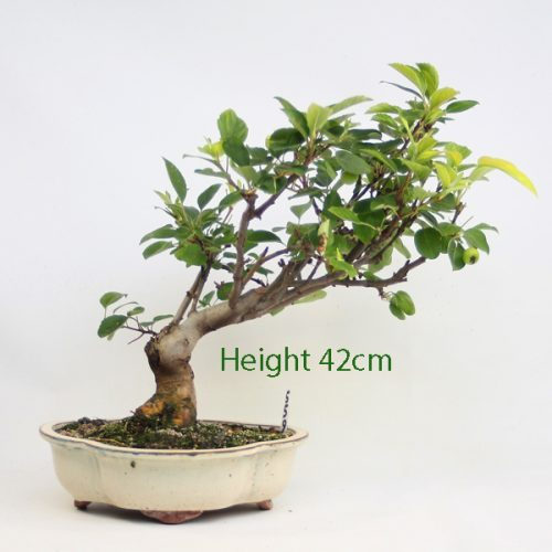 Crab Apple Flowering Bonsai Tree Malus Number 559 available to buy online from All Things Bonsai Sheffield Yorkshire with free UK delivery