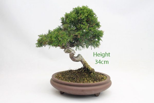 Chinese Juniper Bonsai Tree Number 106 available to buy online from All Things Bonsai Sheffield Yorkshire with free UK delivery