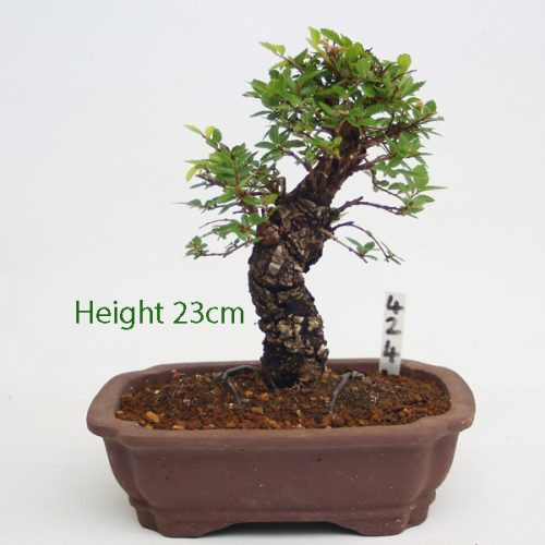 Cork Bark Chinese Elm Bonsai Tree Number 424 available to buy online from All Things Bonsai Sheffield Yorkshire with free UK delivery
