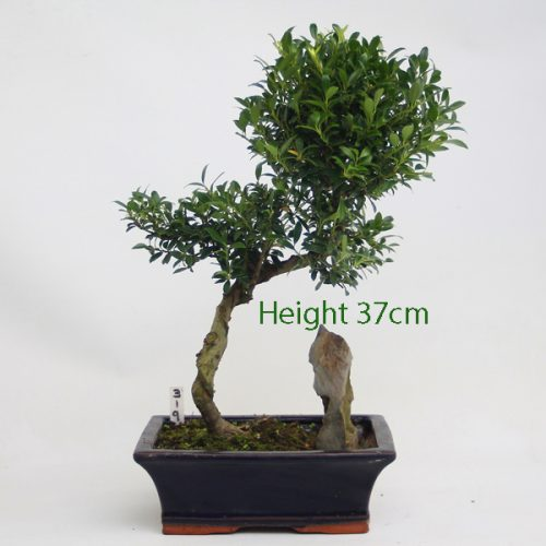 Japanese Holly Ilex Flowering Bonsai Tree Number 319 available to buy online from All things Bonsai Sheffield Yorkshire with free UK delivery