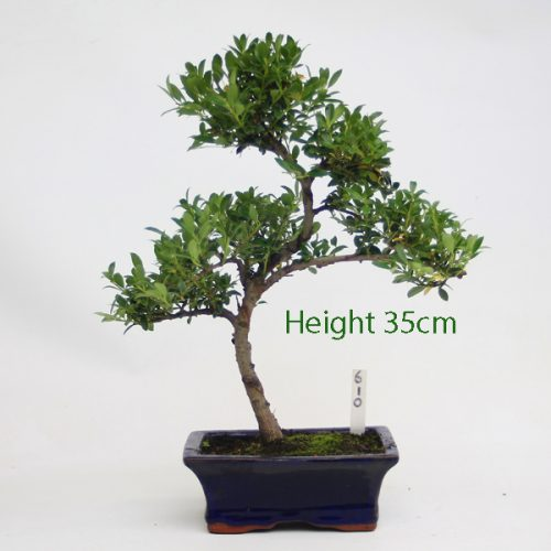 Japanese Holly Ilex Flowering Bonsai Tree Number 610 available to buy online from All things Bonsai Sheffield Yorkshire with free UK delivery