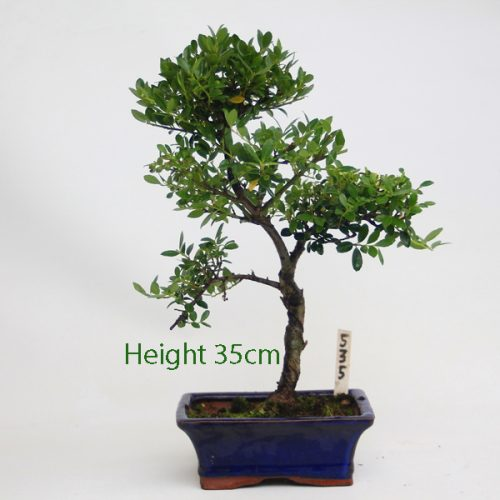 Japanese Holly Ilex Flowering Bonsai Tree Number 535 available to buy online from All things Bonsai Sheffield Yorkshire with free UK delivery