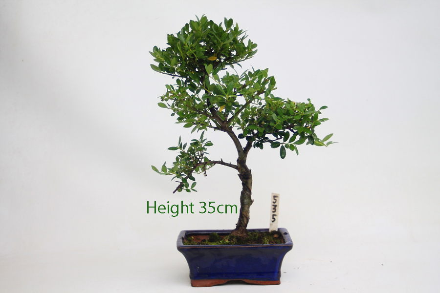 Japanese holly flowering bonsai tree number 535 all for Holly tree bonsai