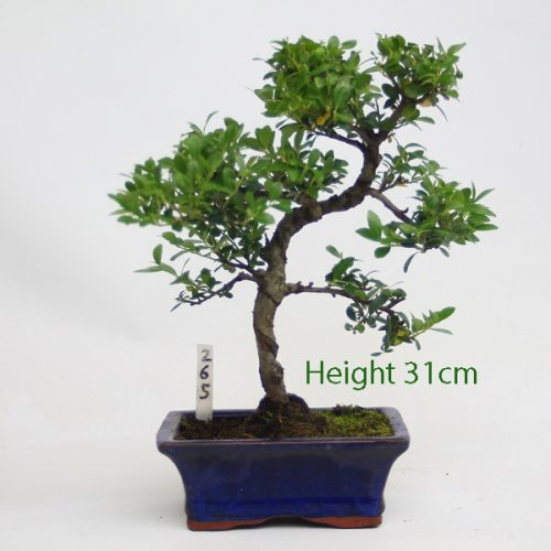 Japanese Holly Ilex Flowering Bonsai Tree Number 265 available to buy online from All things Bonsai Sheffield Yorkshire with free UK delivery